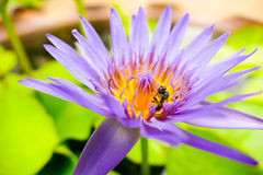 One bee collecting nectar from lotus pollen. Many bees keep nectar from purple lotus pollen Stock Image