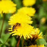 One bee on dandelion Stock Photos