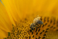 One bee gathering pollen. Bees picking up nectar from sunflower Stock Photography