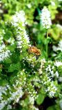 Bee searching for pollin. One bee searching for polling stock image