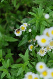 One bee stay on the daisy surround by green leaf. One single bee stay on the litle yellow white daisy. Several daisy surround by green leaves. Pure and fresh Stock Photos