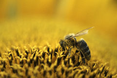 One bee working. Bee picking up nectar from sunflower Stock Images