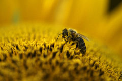 One bee working. Bee picking up nectar from sunflower Royalty Free Stock Photos
