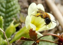 Bee on a yellow flower. One bee on a yellow flower Stock Images