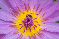 One bee on yellow violet lotus closeup Royalty Free Stock Photo