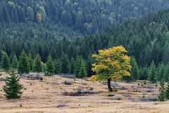 One Beech tree between pine trees landscape Stock Image