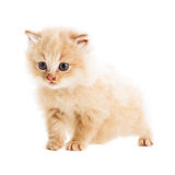 One beige kitten Stock Image