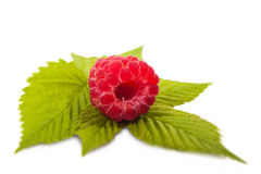 One berry raspberry closeup on a green twig Royalty Free Stock Image