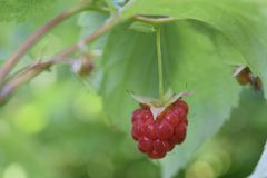 One berry of ripe raspberries in the garden royalty free stock image