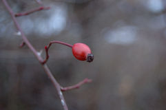 One berry of wild rose Royalty Free Stock Image
