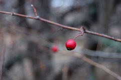 One berry of wild rose Stock Photo