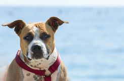 Beautiful young boxer on the beach. One of the best guard dogs for families. The Boxer is a medium-sized, short-haired breed of dog, developed in Germany. The royalty free stock photo