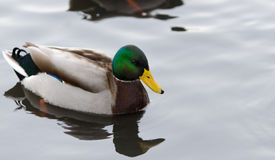 One beutiful male mallard swim in the water. Looking for food Royalty Free Stock Photo