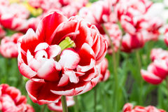 One bicolor red white tulip in front of many Stock Images