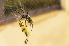 Big spider on the web with insects stock photos