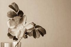 One big blossomed dog-rose in tone sepia Stock Image