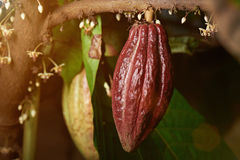 One big cacao pod cocoa tree Stock Images