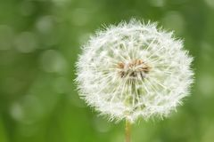 One big dandelion flower closeup with dark green grass background Royalty Free Stock Photos