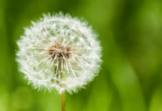 One big dandelion on grass background Royalty Free Stock Photography