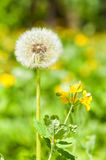 One big dandelion on grass Stock Photography