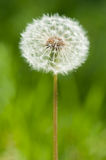 One big dandelion on grass Royalty Free Stock Image