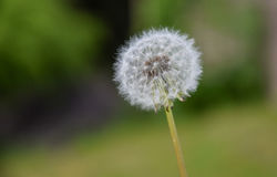 One Big Dandelion Stock Image