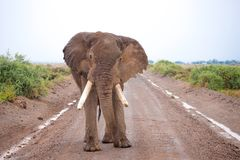 One big elephant is standing on the road, on safari Royalty Free Stock Photography