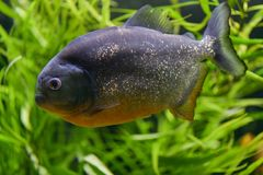 One big fish piranha close-up swims in a large transparent aquarium with green plants. One big fish piranha close-up swims transparent aquarium with green plants stock photography