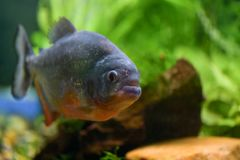 One big fish piranha close-up swims in a large transparent aquarium with green plants. One big fish piranha close-up swims transparent aquarium with green plants royalty free stock image