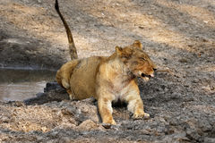 One of the Big Five Lion Pride Royalty Free Stock Image