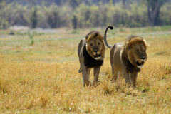 One of the Big Five Stock Image