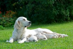 One big golden labrador retriever mum with forus mall puppies in green grass background. Golden labrador retriever with small puppies Royalty Free Stock Images