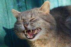 Big gray cat yawns at the green wall royalty free stock image