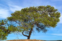 One big pine. One big green pine with cones against the background of the blue sky royalty free stock photography