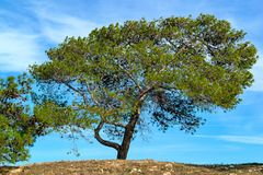 One big pine. One big green pine with cones against the background of the blue sky royalty free stock images