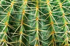 Free One Big Green Round Beautiful Cactus Closeup Macro Witjh Blurred Background Royalty Free Stock Photography - 157930507