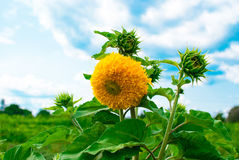 One big lush sunflower blossoms. Against the sky stock photography