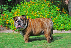 One Big Male Bulldog Royalty Free Stock Images