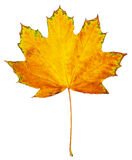 One big maple autumn leaf, object on white Royalty Free Stock Photo