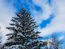 One big old beautiful pine tree with a clear sky royalty free stock image