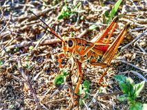 Giant orange Lubber Grasshopper looking at camera Royalty Free Stock Images