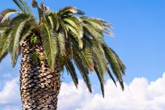 One big palm tree Stock Images