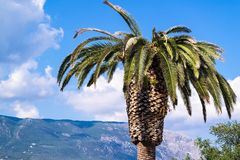 One big palm tree Royalty Free Stock Photos