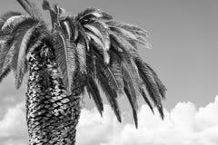 One big palm tree of monochrome tone Stock Photography