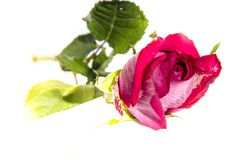 One big pink roses with some green. A rose is a woody perennial flowering plant of the genus Rosa, in the family Rosaceae, or the flower it bears. There are over Royalty Free Stock Photography