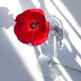 One big red poppy flower on white table with contrast sun light and shadows and wine glass with water closeup top view royalty free stock photos