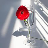 One big red poppy flower on white table with contrast sun light and shadows and wine glass with water closeup top view royalty free stock image