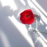 One big red poppy flower on white table with contrast sun light and shadows and wine glass with water closeup top view royalty free stock images
