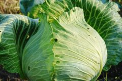 One ripe head of cabbage close up royalty free stock photography