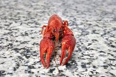 One big river crayfish on grey worktop Stock Photos